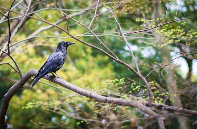 Un corvo su un ramo di un albero su sfondo verde foresta.