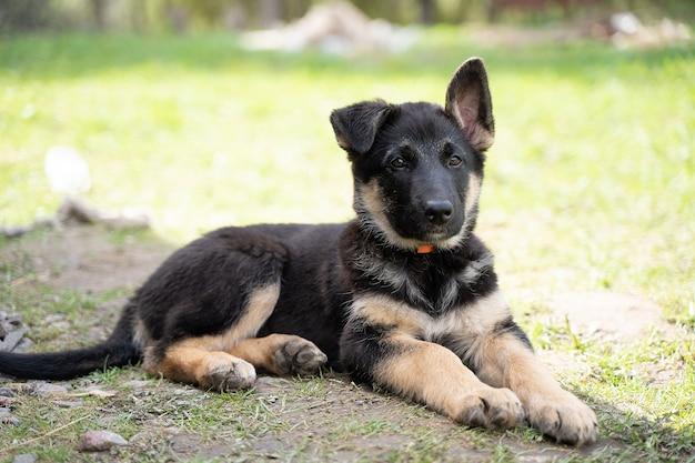 Un cucciolo di pastore con un colletto rosso giace a terra