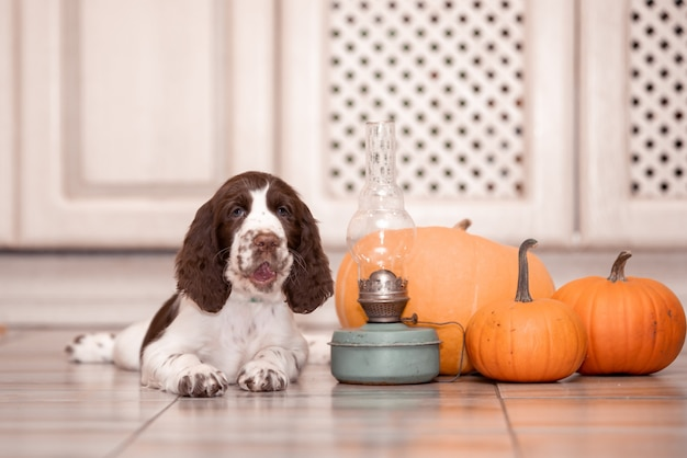 Un cucciolo di springer spaniel si siede da un mucchio di zucche.