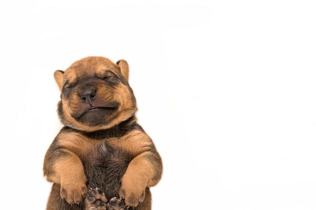 Un cucciolo neonato di sorriso sulla vista superiore del fondo bianco