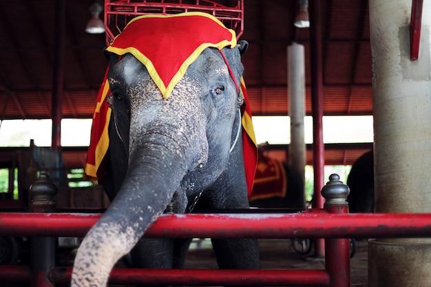 Un elefante addestrato grande bello su uno spettacolo di circo con gli occhi tristi. zoo del sud