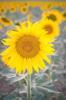 Un fiore del sole in un campo di girasoli