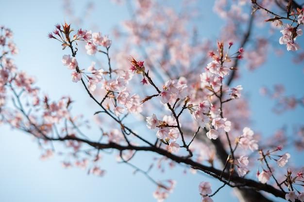 Un fiore di ciliegio o un albero di sakura è così carino