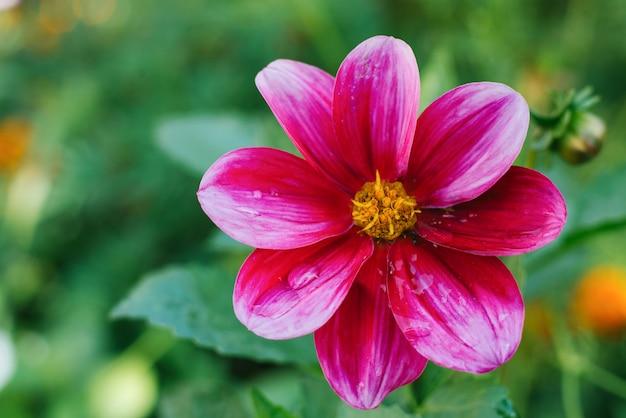 Un fiore di dalia viola rosa brillante cresce in un giardino estivo. copia spazio
