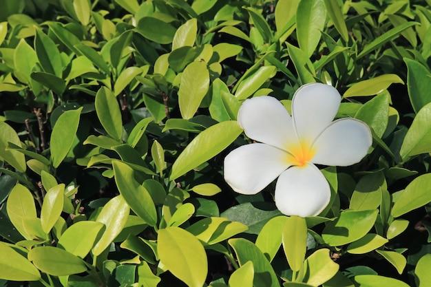 Un fiore di plumeria bianco puro sul cespuglio verde intenso alla luce solare