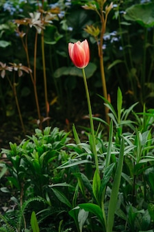 Un fiore di un tulipano rosso su uno sfondo sfocato di altri fiori.