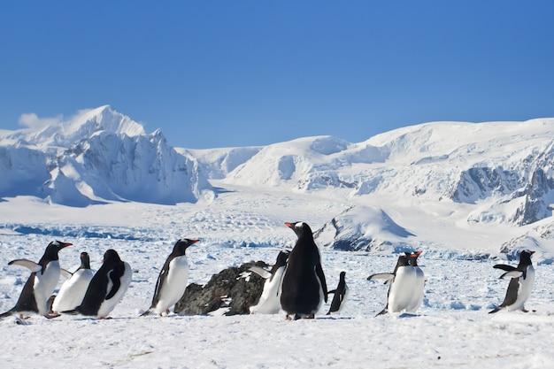 Un folto gruppo di pinguini