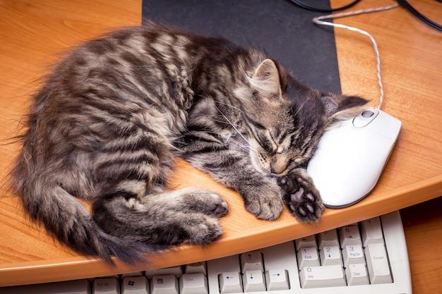 Un gattino che dorme vicino al computer, mettendo la testa sul mouse di un computer. riposa al lavoro