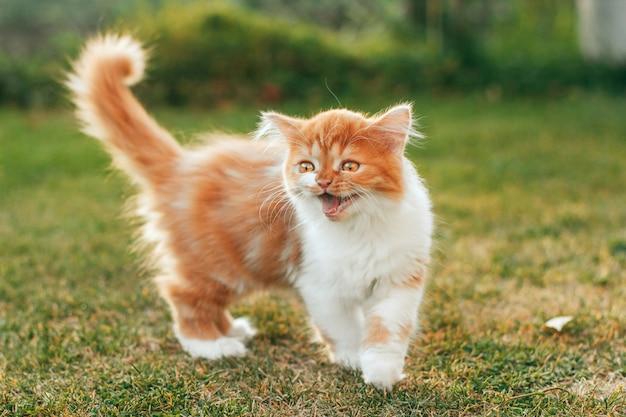 Un gattino soffice zenzero si erge sull'erba e urla. gattino piangente.