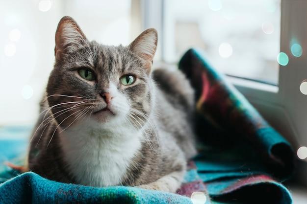 Un gatto grigio con gli occhi verdi si siede su un davanzale di una calda sciarpa di lana