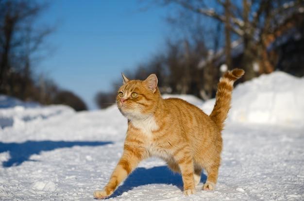 Un gatto marrone chiaro va in neve in strada in inverno