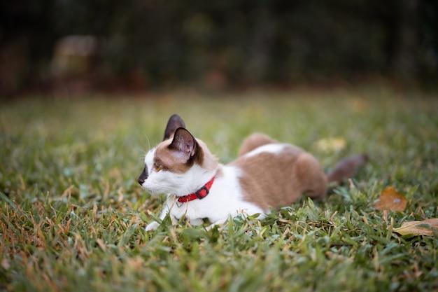 Un gatto marrone e bianco sta giocando sul campo verde. sembra intelligente e attivo. è seduto in giardino.