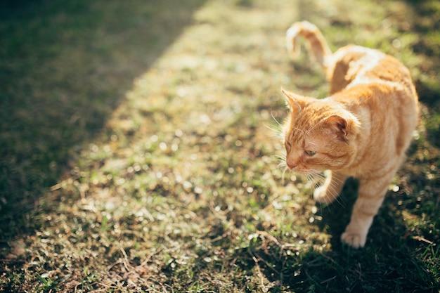 Un gatto rosso che cammina in una fattoria sotto il sole