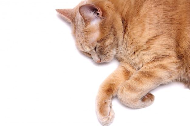 Un gatto rosso che dorme è isolato su uno sfondo bianco. avvicinamento.