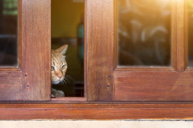 Un gatto soriano peloso guarda fuori da dietro la porta, un gatto guarda fuori da dietro una porta di legno