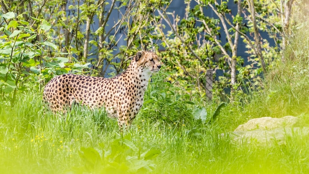Un ghepardo asiatico