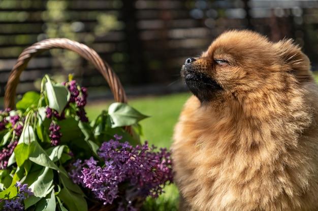 Un giovane cane pomeranian spitz si gode i caldi raggi del sole primaverile circondato da fiori lilla.