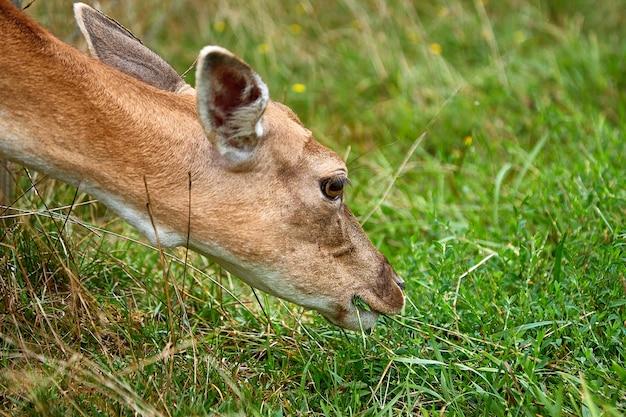 Un giovane cervo macchiato mangia l'erba in un campo in una giornata autunnale. un animale in un habitat naturale.