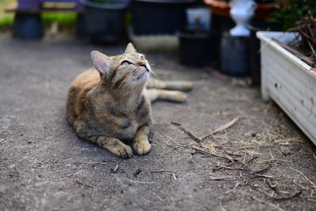 Un giovane gatto soriano grigio guardando verso il cielo