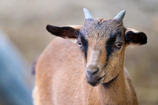 Un giovane maschio di capra