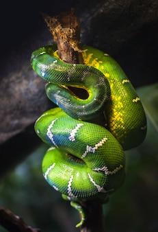 Un grande boa verde dormiva su un ramo di un albero rannicchiato.