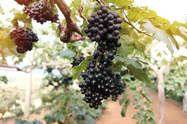 Un grande grappolo di uva da vino pende dalle uve