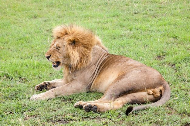 Un grande leone che riposa nell'erba nel prato