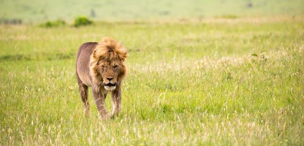 Un grande leone maschio sta camminando nella savana