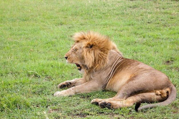 Un grande leone sbadiglia sdraiato su un prato con erba