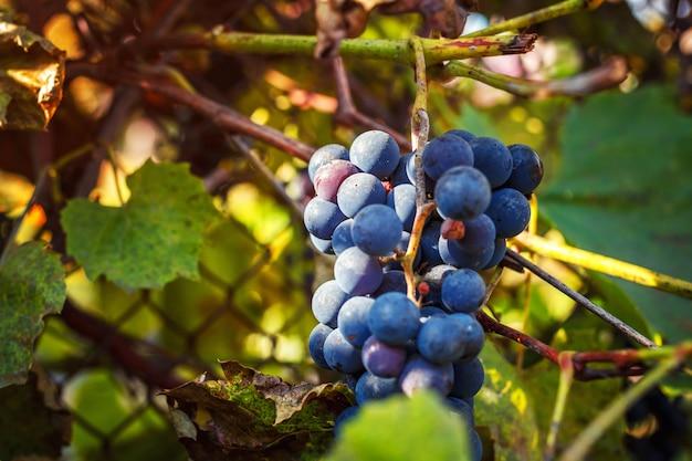 Un grappolo d'uva nel sole del mattino
