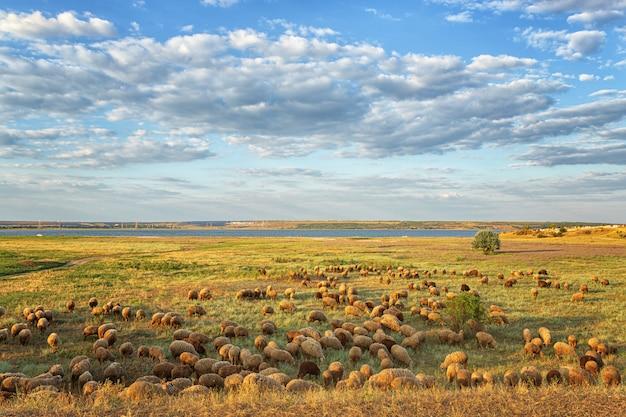 Un gregge di arieti, pecore al pascolo in estate, la sera sul campo, sullo sfondo del cielo con le nuvole e il fiume