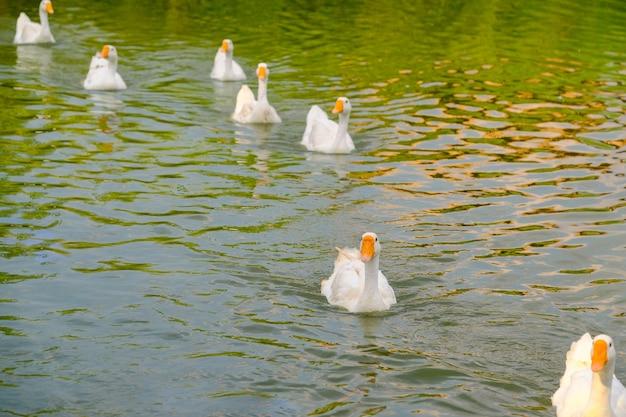 Un gregge di oche bianche galleggia nell'acqua del lago
