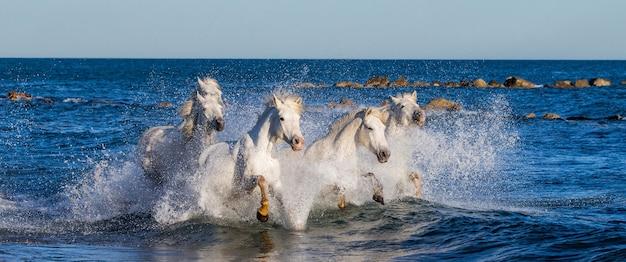 Un gruppo di cavalli camargue bianchi che corrono nell'acqua