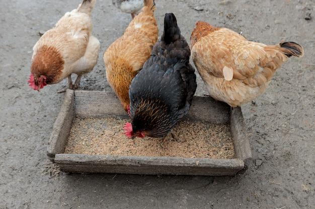 Un gruppo di polli ruspanti che mangiano fuori in una fattoria