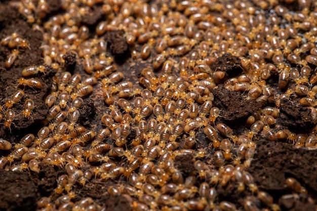 Un gruppo di termiti che mangiano legno