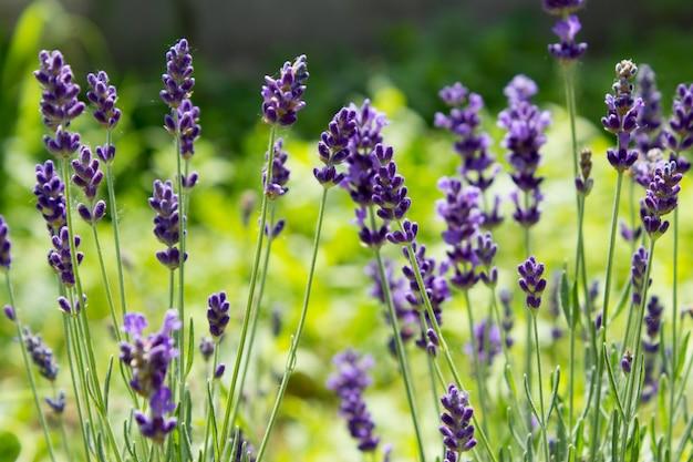 Un'immagine del primo piano dei fiori viola della lavanda in un campo al sole rays. fiore di lavanda