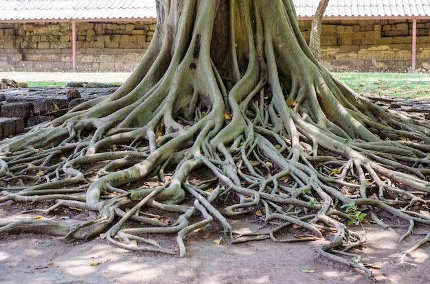 Un'immagine di grande albero con belle radici sul terreno.