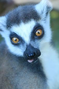 Un lemure carino