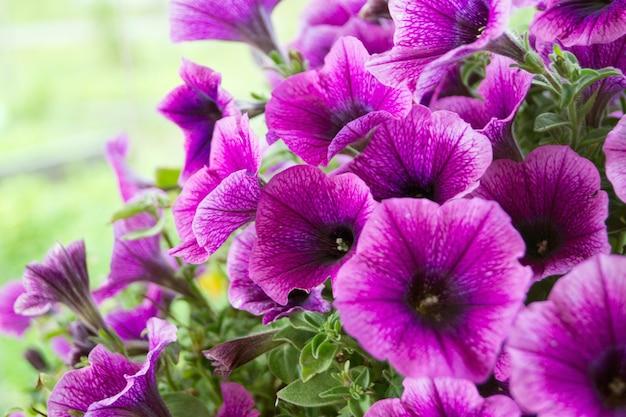 Un letto di petunie viola (petunia grandiflora).