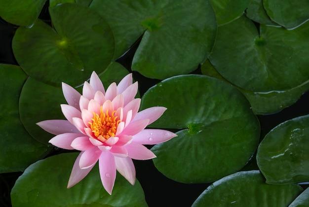 Un loto rosa