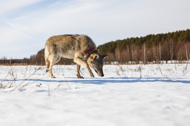 Un lupo grigio adulto si insinua lungo un campo invernale innevato in mezzo a una foresta