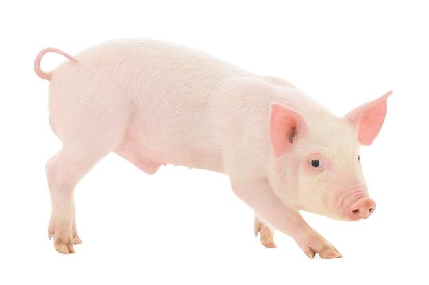 Un maiale su uno sfondo bianco