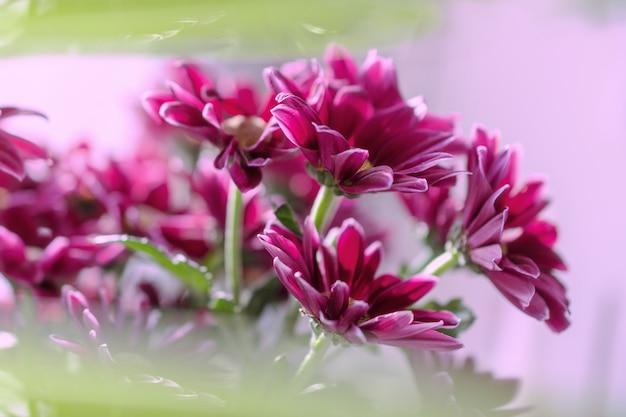 Un mazzo di crisantemi fucsia su uno sfondo rosa con sfocatura verde.