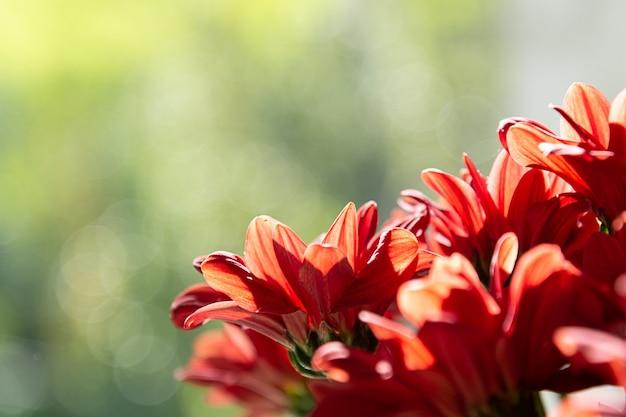 Un mazzo di crisantemi rossi su uno sfondo verde.