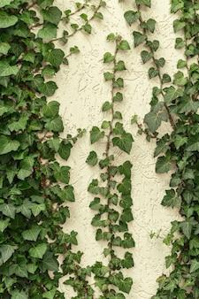 Un muro di edera comune. conosciuto anche come edera europea