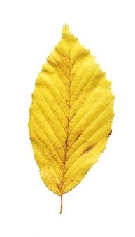 Un olmo giallo della foglia isolato