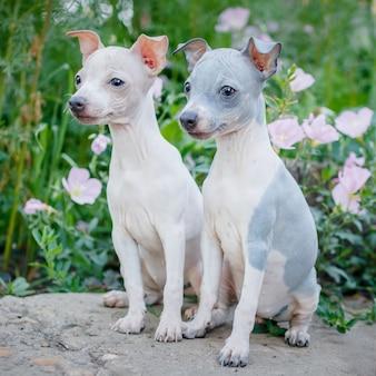 Un paio di piccoli simpatici cuccioli (american hairless terrier) sono seduti all'aperto