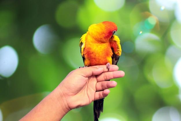 Un pappagallo sulle mani di un giovane (isolato su bianco e tracciato di ritaglio)