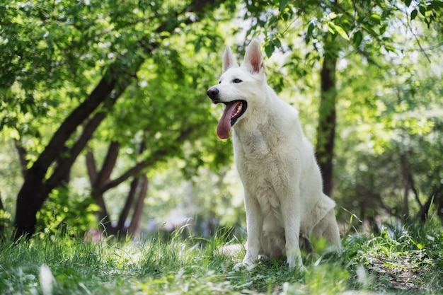 Un pastore svizzero bianco si siede sull'erba