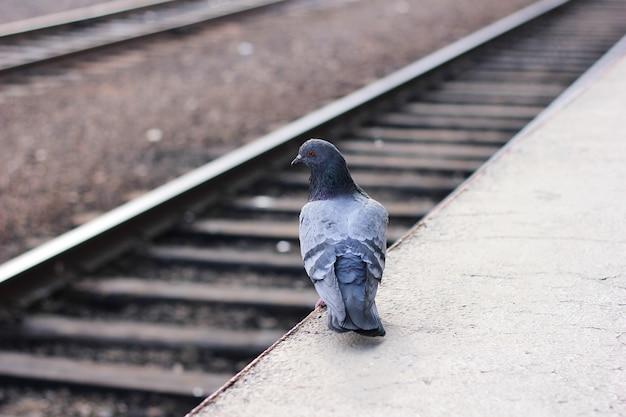 Un piccione è solo sul bordo di una piattaforma ferroviaria vuota e guarda i binari della ferrovia